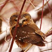 """Photo by Anthony Schirru, Geographic Information Systems Student """"Saw Whet Owl on Slekirk College Recreation Trail"""""""