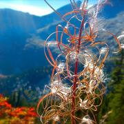 """Epilobium Angustifolium-Fireweed"" by Ashley McWhirter"